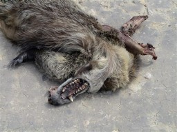 Dead howler monkey with exposed jaw