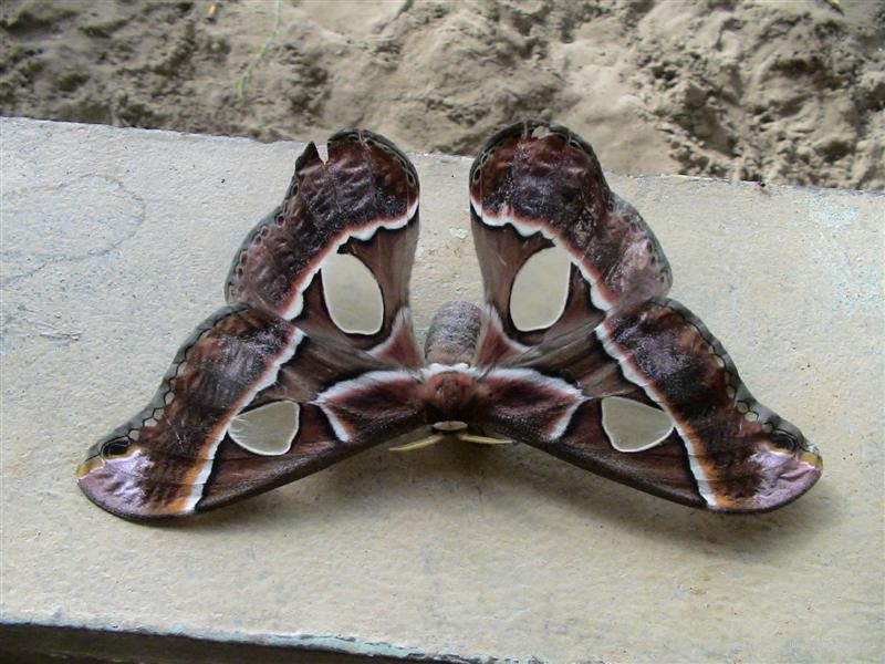 Moth from Las Lajas