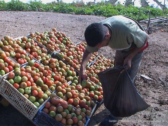 West Bank Arab selecting tomatoes